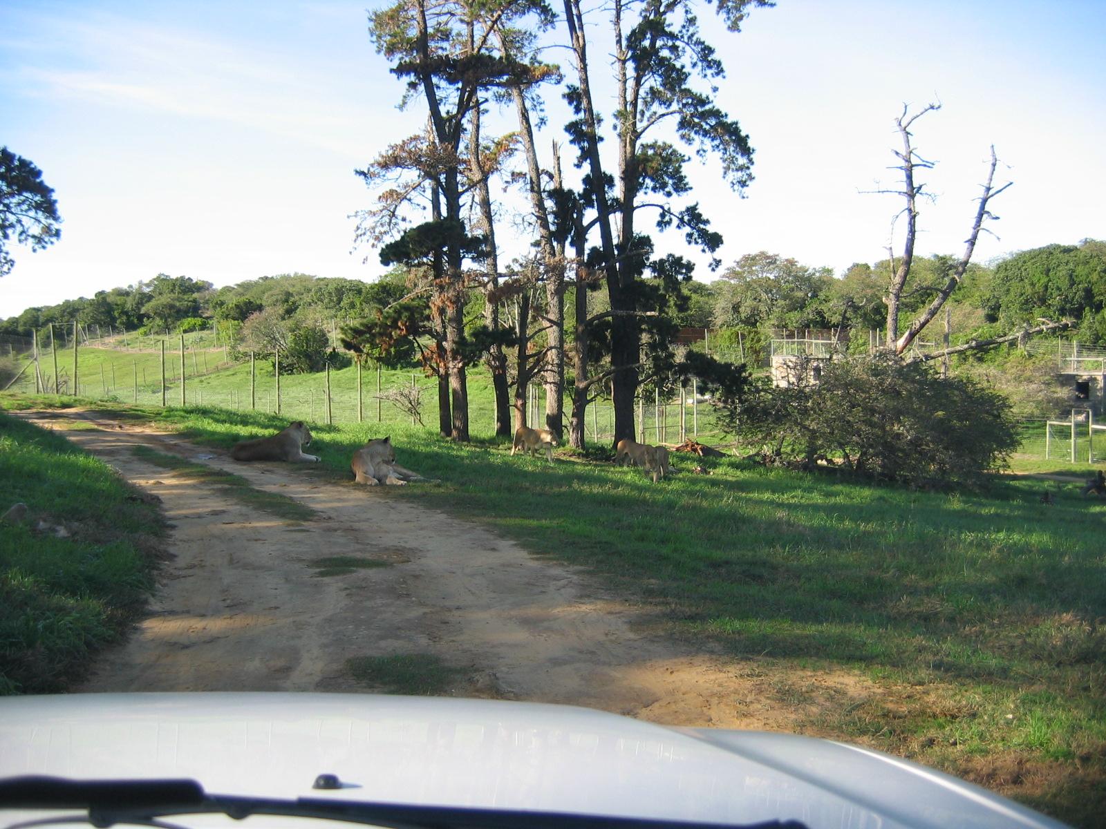 Die Fahrt durch das Gehege der Löwinnen, eine Wegblockade zeichnet sich ab
