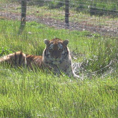 Tiger sind schlichtweg BEEINDRUCKEND!