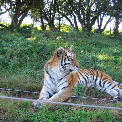 Ein Gast im Projekt zur Erhaltung von Großkatzen