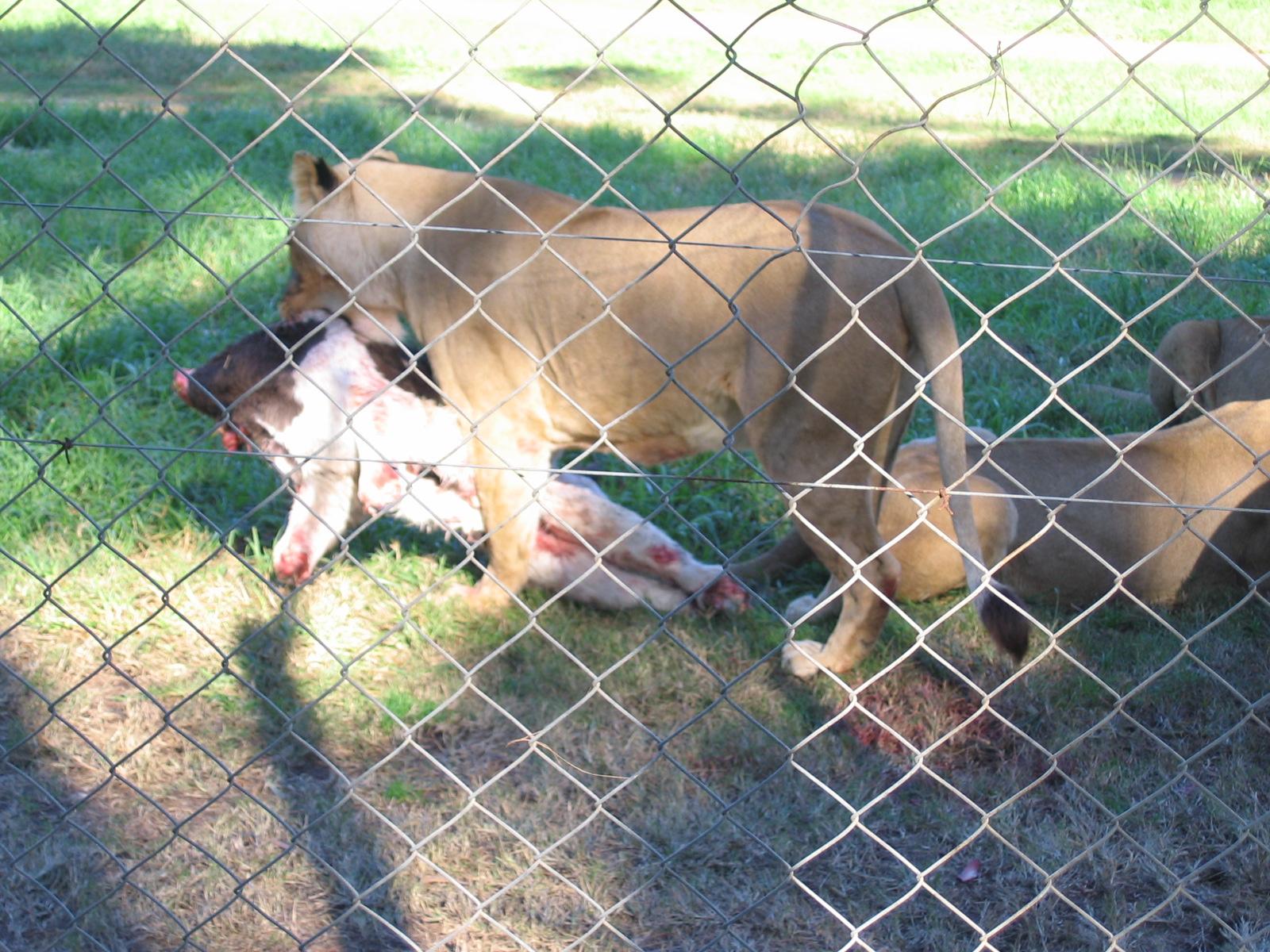 Löwenfütterung Sonntags um 12, wir waren viertel vor 12 da...
