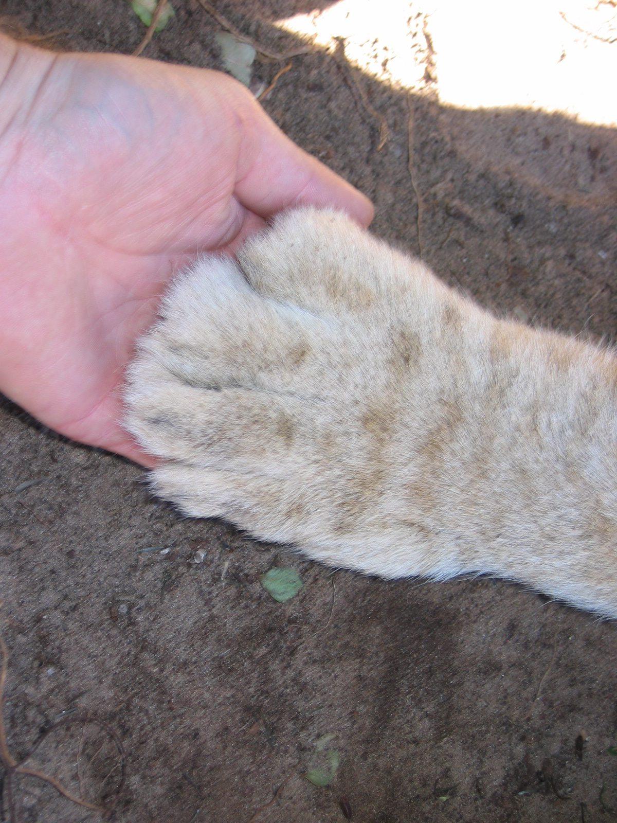 Meine Hand vs. Tatze eines 4 Monate alten Löwen